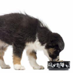 5689832-australian-shepherd-puppy
