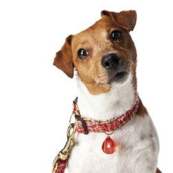 Finklädd för catwalken blir hunden i ett halsband med Chanelkänsla.