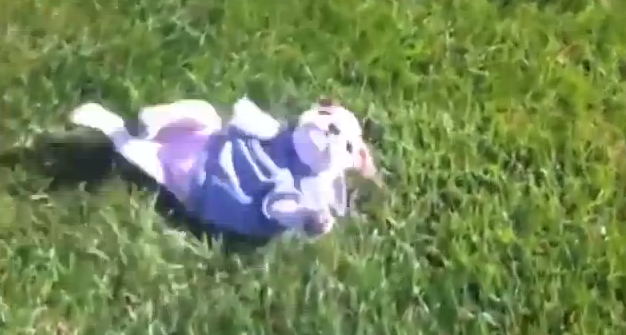 Engelsk bulldog rullar nedför backe