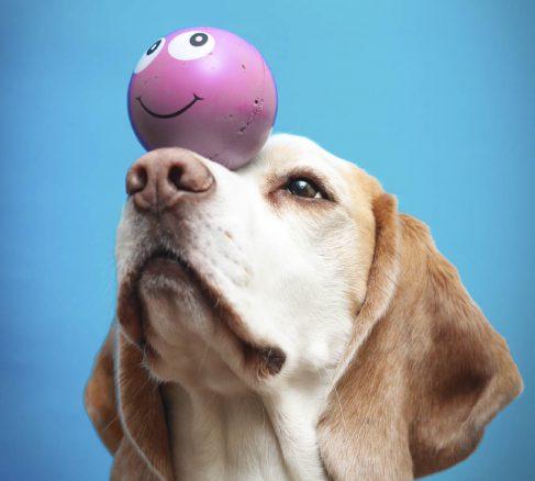 Lär din hund balanstrick med boll