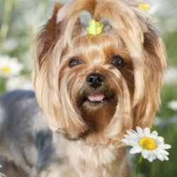 Yorkie in a field of daisies