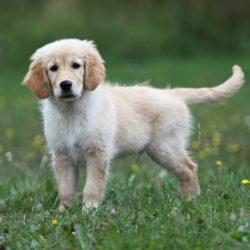 cute-golden-puppy