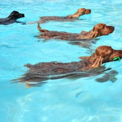 swimming-dogs