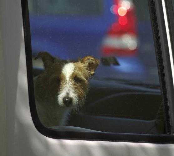Okunskap gör att hundar dör i värmen