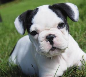 vilda fransk bulldogg