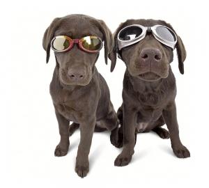 hundsolglasögon
