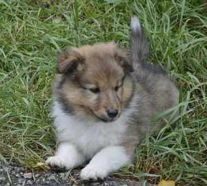BIANCA shetland sheepdog