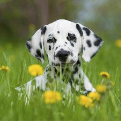 Dalmatinervalp bland maskrosor och gräs