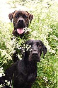 Hundar i hundkex! Bosco och Bella. Foto Johanna Ågren