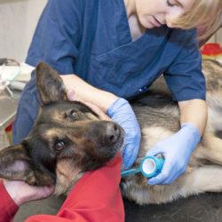 Schäfern Flexi skulle ha blivit polishund, men gör stor nytta även nu.