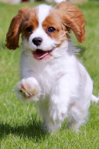 Goda nyheter för hundar med Chiari-missbildningar
