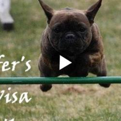 Film_fransk_bulldogg_agility