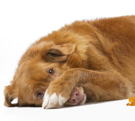 Hundar vet oftast om de har gjort något de inte får. Men de känner inte skam.
