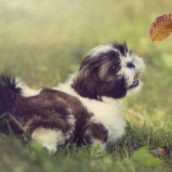 Shih tzu är vänlig, glad och alert, och nöjer sig med ett normalt hundliv utan stora krav på långa promenader och underhållning.