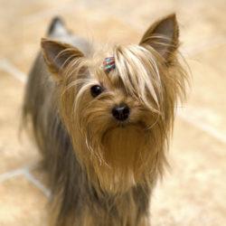 Yorkshireterriern är en av världens mest populära sällskapshundar bland de små dvärghundsraserna.