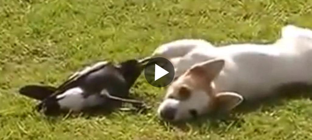 Hund och skata i full flax