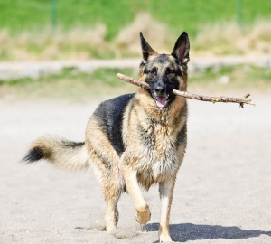 german_shepherd2