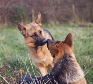 german_shepherd4