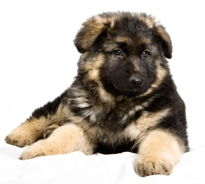 german_shepherd5