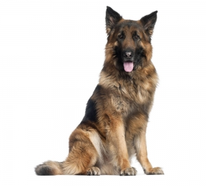 german_shepherd6