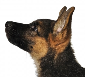 german_shepherd7