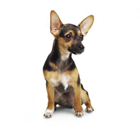 Små hundar om stockholmarna får välja