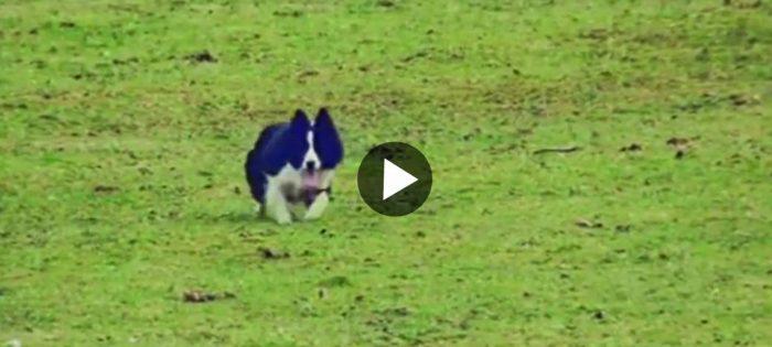 Vallhund på udda uppdrag