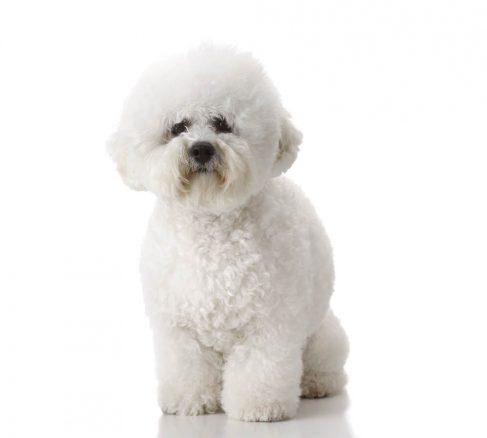 Experten svarar: Hur påverkar cushings och diabetes hunden?