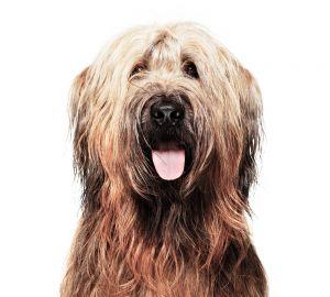 Det är lätt att älska denna trogna, omtänksamma och vackra hund.