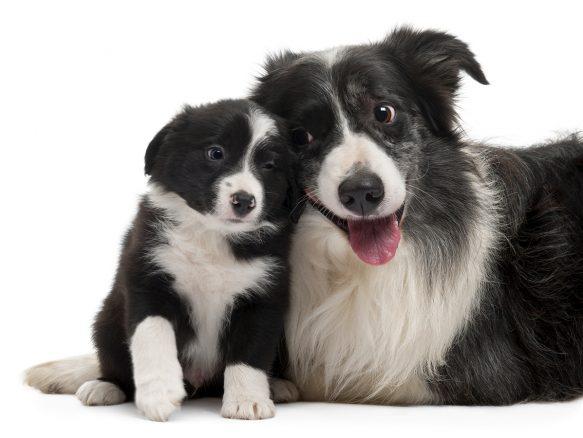 10 skäl att inte gilla border collie – någonsin …