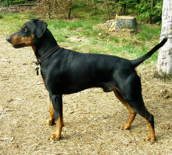 Pinscher – snygg & smart