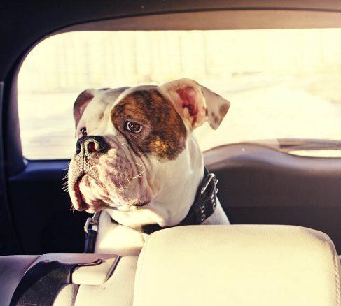 Så färdas hunden säkert i bilen