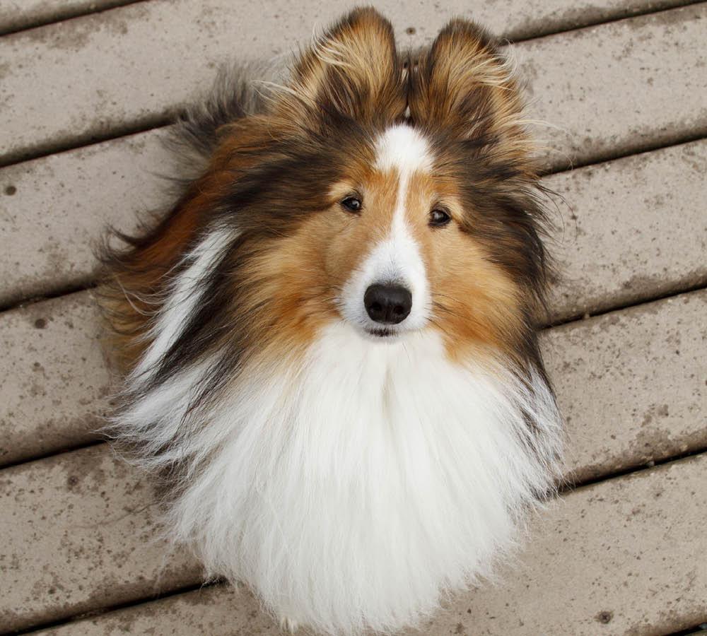 liten collie hund