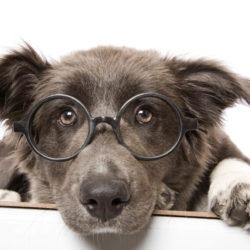 Ögondroppar tar bort grå starr på hund