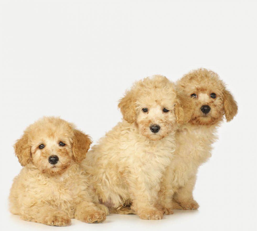Pudel – framåt & lättsam showhund