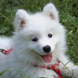 Lyckligt leende. Samojedens mörka läppar som alltid är lätt böjda uppåt ger den ett vackert och svåremotståndligt leende. Men det är hundar med mycket energi och med sitt sibiriska ursprung trivs de bäst utomhus och när de får mycket motion.