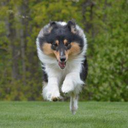 Sommar collie Härliga Hund