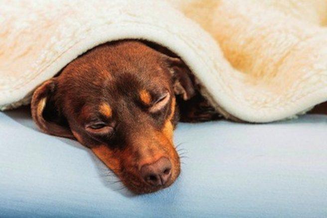 Vanligt med sjukskrivning för vård av sjukt husdjur