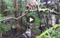 Underbar vänskap mellan schäfern och räven
