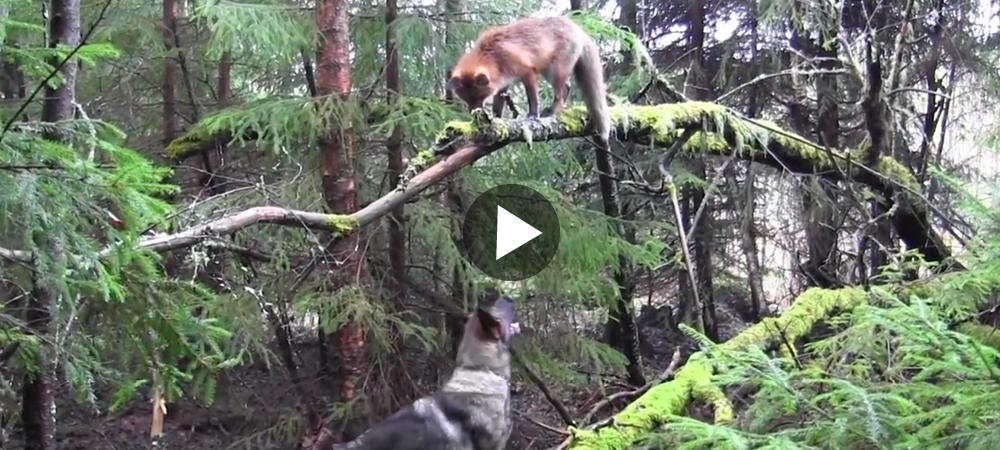 Se den underbara vänskapen mellan schäfern och räven