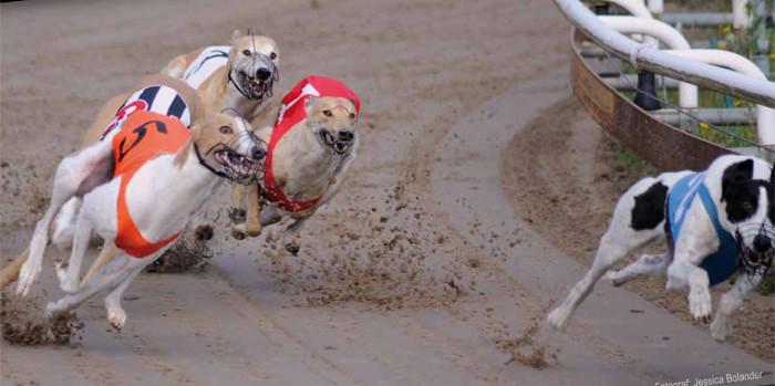 Sveriges snabbaste hundar gör upp