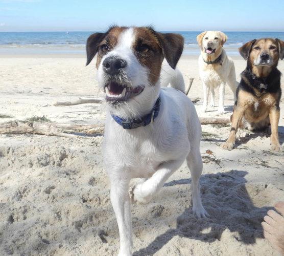 Svedea först med fri flytträtt för hundar