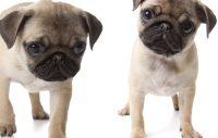 De populäraste hundraserna i Sverige