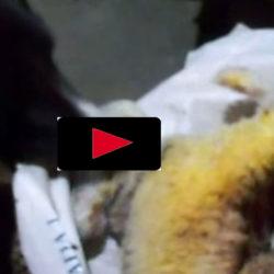 Se när border collien Dino räddar en lammunge