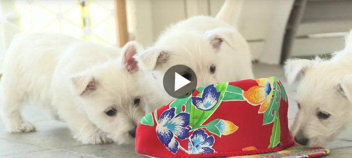 Westie puppies – too cute!