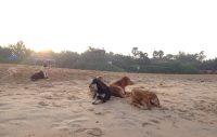 Morgonhäng med strandhundar