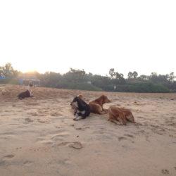 Morgontrötta hundar i den ljumma sanden