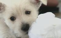 West highland white terrier valpar – sötare än sötast!
