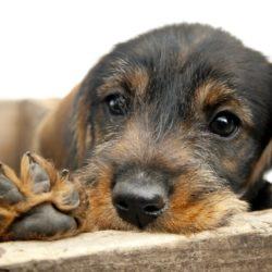 Många hundar drabbas av pollenallergi, men det finns mycket vi kan göra för att hjälpa.