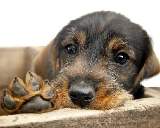 Pollenallergi drabbar även hundar